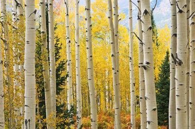 brzozowy-las-jesienia