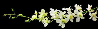 bialy-kwiat-na-czarnym-tle
