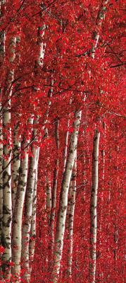 biala-brzoza-i-czerwone-liscie