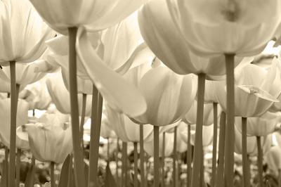polana-tulipanow-w-sepii