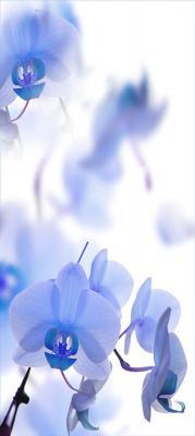 niebieskie-storczyki-na-bialym-tle