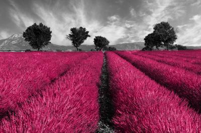 rozowe-pole-lawendy-i-czarno-bialy-krajobraz