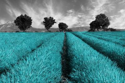 turkusowe-pole-lawendy-i-szary-krajobraz