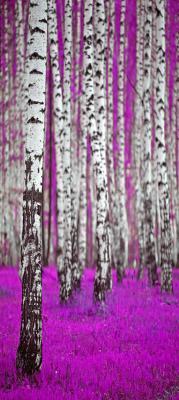 brzozy-w-fioletowym-lesie
