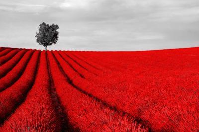 czerwone-pole-i-samotne-drzewo