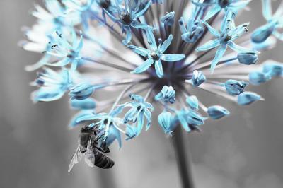 turkusowy-kwiat-i-pszczola