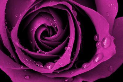 fioletowa-roza-i-rosa