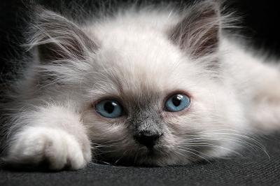 piekny-kot-z-niebieskimi-oczami