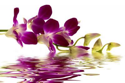 fioletowa-orchidea-i-odbicie-w-wodzie