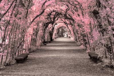 aleja-rozowych-drzew