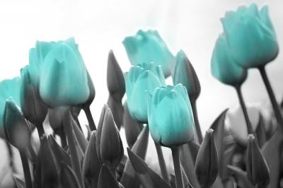 turkusowe-tulipany