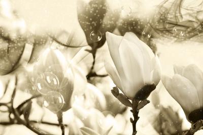 magnolie-w-sepii