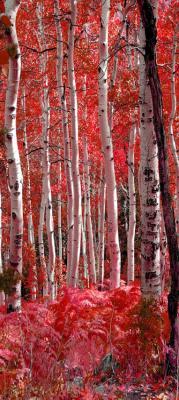 biale-brzozy-w-czerwonym-lesie
