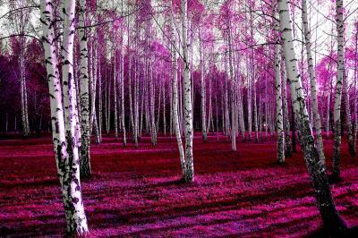 rozowy-las-brzozowy