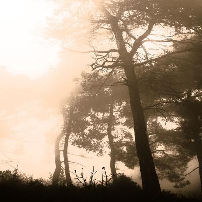 kremowe-drzewa-we-mgle