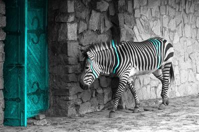 zebra-i-turkusowe-drzwi