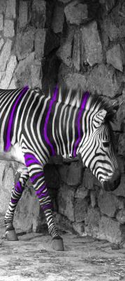 zebra-w-fioletowe-paski-i-kamienna-sciana