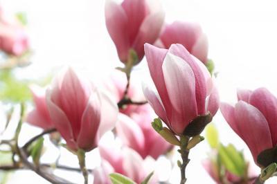 rozowe-kwiaty-magnolii
