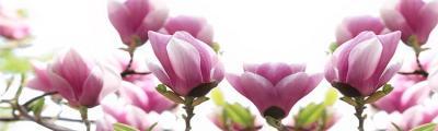 rozowe-magnolie