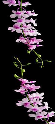 fioletowe-kwiatki-na-czarnym-tle