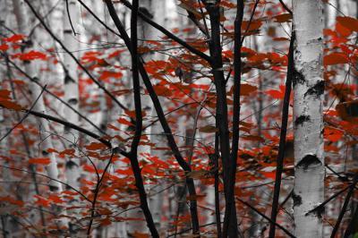 biale-brzozy-i-czerwone-liscie