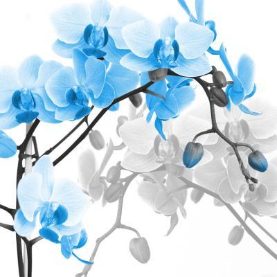 niebieska-orchidea