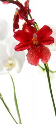 czerwone-i-biale-kwiaty
