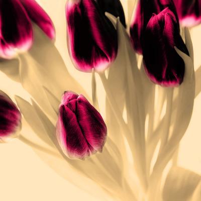 rozowe-tulipany