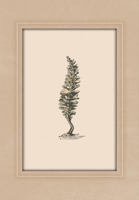 rycina-rosliny-morskiej