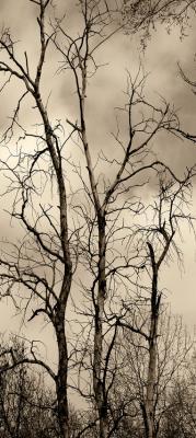 drzewa-w-sepii