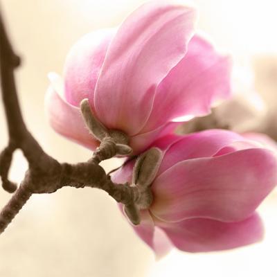 rozowa-magnolia-na-galazce