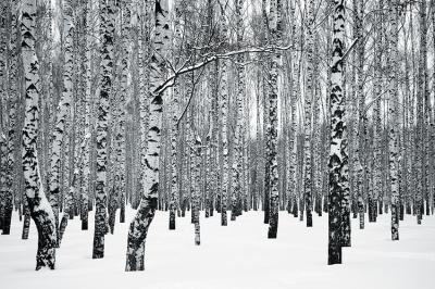 brzozowy-las-zima