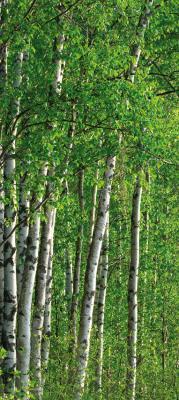 zielone-brzozy