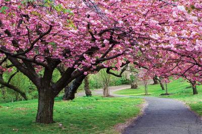 rozowe-kwiaty-na-drzewie-w-ogrodzie