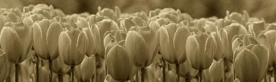pole-tulipanow