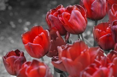 czerwone-tulipany
