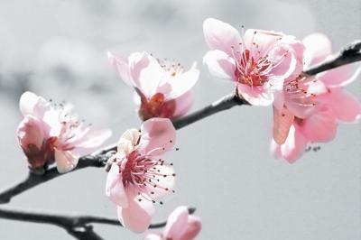 rozowe-kwiaty-jabloni
