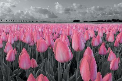 pola-rozowych-tulipanow