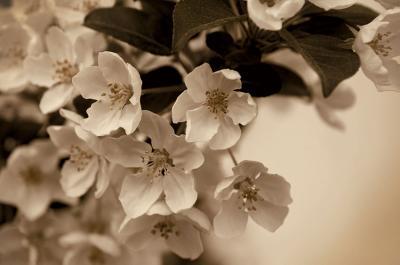 kwiaty-wisni-w-sepii