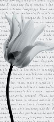 czarno-bialy-tulipan