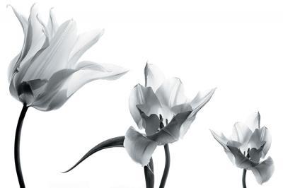trzy-tulipany