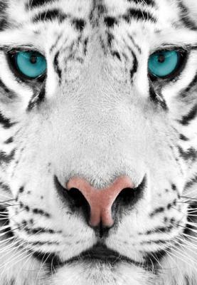 bialy-tygrys-z-turkusowymi-oczami