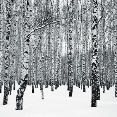 zimowe-brzozy