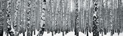 las-brzozowy-czarno-bialy