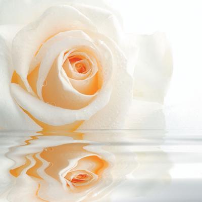 kremowa-roza-w-wodzie