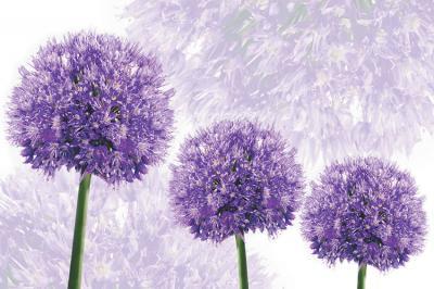 fioletowe-kwiaty-czosnku