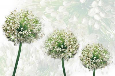 trzy-kwiaty-czosnku
