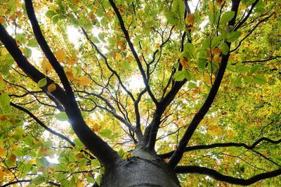 olbrzymie-drzewo