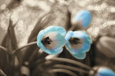 niebieskie-tulipany