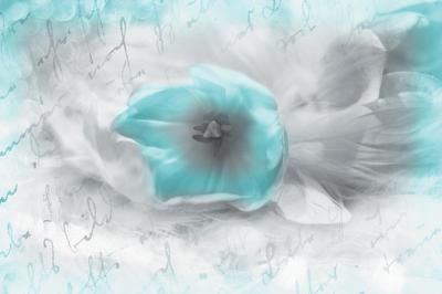 turkusowy-tulipan